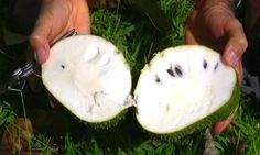 Soursop a Cancer Killer 10,000 times Stronger Than Chemotherapy