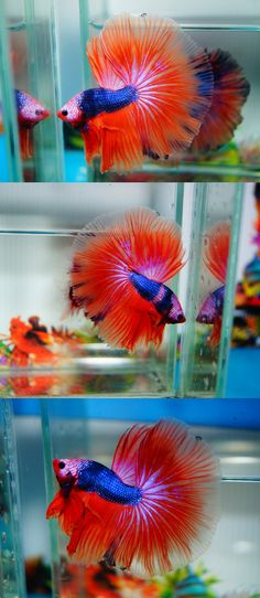 Some interesting betta fish facts. Betta fish are small fresh water fish that are part of the Osphronemidae family. Betta fish come in about 65 species too! Betta Aquarium, Betta Fish Tank, Beta Fish, Freshwater Aquarium Fish, One Fish, Fish Tanks, Pretty Fish, Beautiful Fish, Animals Beautiful