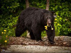 black bear pictures in the wild Cute Bear, Big Bear, Spectacled Bear, Sloth Bear, Moon Bear, Bear Hunting, Bear Decor, Bear Pictures, Canada