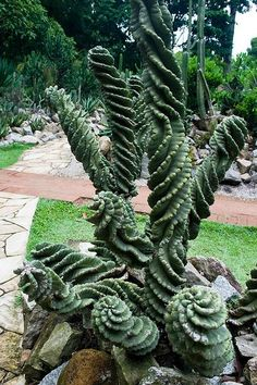 Cereus spiralis I love this one!