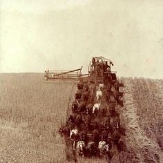 Real horsepower at its best! A 33-horse hitch being used to harvest wheat at the turn of the last century.