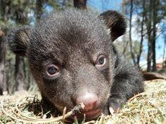 Photos: 5 new bear cubs born at Bearizona