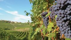 Vigne nelle terre di Langhe e Roero Wine Art, Favorite Color, Gems, Colour, Plants, Beautiful, Rhinestones, Color, Gemstones