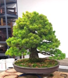 Before & After White Pine at the Pacific Bonsai Museum | Bonsai Bark