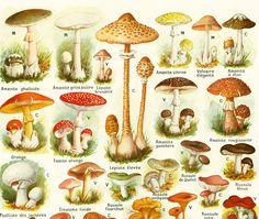 1922 Antique Print of Mushroom Chart Identification French vintage illustration…