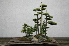 Bonsai is a Japanese art form using miniature trees grown in low side pot. A bonsai is a miniature version of a tree. A bonsai is created by cutting a small Indoor Bonsai Tree, Bonsai Plants, Bonsai Garden, Bonsai Trees, Plantas Bonsai, Bonsai Forest, Juniper Bonsai, Miniature Trees, Arte Floral