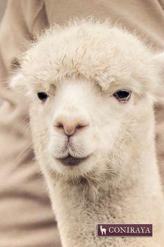 Hey, what's up? :D #alpaca #coniraya #alpakino #alpacas