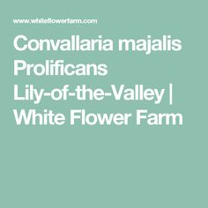 Convallaria majalis Prolificans Lily-of-the-Valley | White Flower Farm