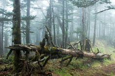 Virgin forest in a foggy morning #Art #Photography   Kozzi Images   Royalty Free Stock Images for just $1