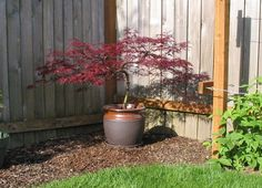 japanese maple in pots - Google Search
