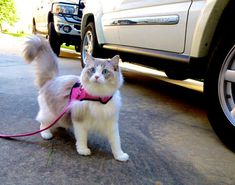 A Bluepoint Bicolor Lynx Ragdoll. Most Ragdoll cats will walk on a leash if trained to do so!!