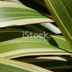 Phormium 'Yellow Wave', New Zealand Flax Royalty Free Stock Photo