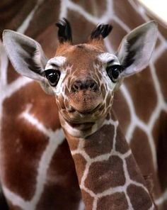 Baby giraffe with a derpy look on his face. LOL