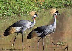 Grey-crowned Crane (Balearica regulorum)