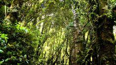 La selva fría - sur de Chile