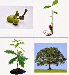 Nápady do školky: Téma: Stromy Tree Life Cycle, Sequencing Cards, Growing Tree, Oak Tree, Science Art, Life Cycles, Small Groups, Beautiful Landscapes, Photo Cards