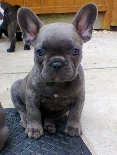 Blue Brindle French Bulldog Puppies .