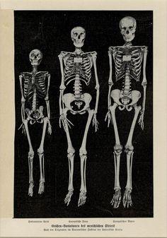 Vintage Human Skeleton Art Print C. 1900 German Lithograph - Human Anatomy Study - Wall Art, Home Decor, Gift Idea Matted Human Skeleton, Skeleton Art, Anatomy Study, Skull And Bones, Human Anatomy, Antique Prints, Rare Antique, Halloween Decorations, German