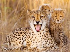 Cheetah and cubs.
