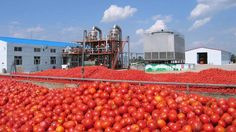 Sonia Foods seeks government's intervention on tomato policy, rewards distributors By Benjamin Alade A tomato processing plant in. Food Doctor, Tomato Seedlings, Food Security, Tomato Paste, Caribbean, Politics, Activities, Canning, Plants