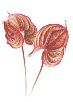 Individual   American Society of Botanical Artists
