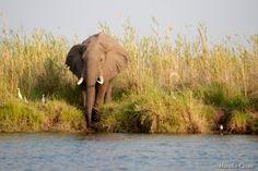 Zambia, elefante che si abbevera sulle rive del fiume Zambesi