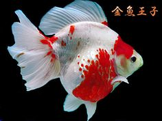 Ryukin Goldfish, Comet Goldfish, Tetra Fish, Discus Fish, Koi, Aqua Culture, Undersea World, Freshwater Aquarium Fish, Beautiful Fish