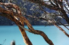 A quenual or paper-bark tree is seen near Llanganuco Lake, which is filled with glacial meltwater, at Huascaran National Park in Huaraz, Sep...