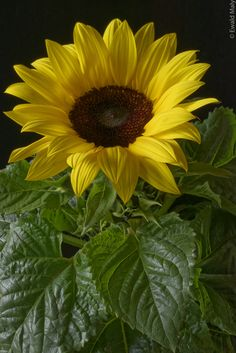 ~Sunflower by Ewald Maly~. Happy Flowers, My Flower, Flower Power, Wild Flowers, Beautiful Flowers, Sun Flowers, Sunflower Garden, Sunflower Art, Sunflowers And Daisies