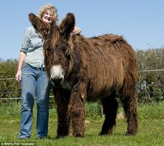 Wooly Donkey Enormous: Farmer Annie Pollock, seen with giant donkey Izzy, has the largest herd of Baudet de Poitou donkeys in the UK