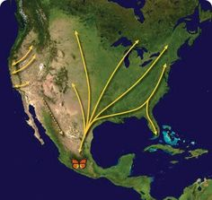 Migration map for Monarch butterflies.  This site mentions school grants for building butterfly gardens.   Wouldn't that be a wonderful conservation-oriented community service activity?