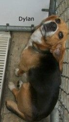 DYLAN HAS BEEN ADOPTED!  Very Urgent Out Of Time is an adoptable Beagle Dog in Elizabethown, NC. Dylan is Out Of Time,shelter FULL, Please SAVE this good dog. Dylan is a regular friendly, happy Beagle boy. Some hunter p...