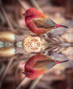 Rose colored bird watching its reflection.
