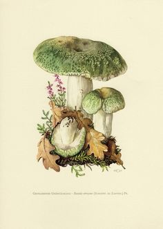 Vintage Illustration Vintage lithograph of the green-cracking russula from 1963 by OjiochaPrints on Etsy - Botanical Drawings, Botanical Prints, Edible Mushrooms, Stuffed Mushrooms, Art And Illustration, Girl Illustrations, Antique Prints, Vintage Prints, Mushroom Art