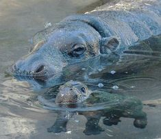baby hippo swimming. This makes me very happy!
