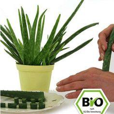BIO-Aloe Vera,1 Pflanze