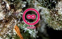 Strain Grade Reviews: Gorilla Glue #4 Strain Review   #cannabis #weed #pot #marijuana
