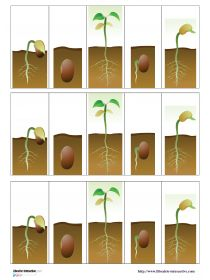Deux documents pour décrire et ordonner les différentes étapes de la germination d'une graine de haricot. Plant Science, Science Biology, Earth Science, Science Nature, Science Montessori, La Germination, French Education, Jack And The Beanstalk, Growing Seeds