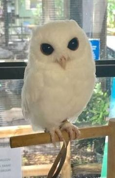 albino animals Ambassador Luna the white Eastern Screech Owl is Peace River Wildlife Centers most iconic Ambassador. This little guy is not an albino, but is leucistic. Rare Animals, Animals And Pets, Funny Animals, Owl Photos, Owl Pictures, Beautiful Birds, Animals Beautiful, Amazing Animal Pictures, Ariana Grande Fotos