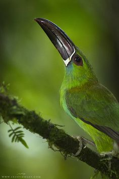 Crimson-Rumped Toucanet by Jess Findlay