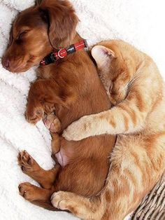 Cuddling Cat and Dog cute animals cat cats adorable dog puppy animal kittens pets kitten funny animals and like OMG! get some yourself some pawtastic adorable cat shirts, cat socks, and other cat apparel by tapping the pin! Animals And Pets, Baby Animals, Funny Animals, Cute Animals, Funniest Animals, Cute Puppies, Dogs And Puppies, Doggies, Dachshunds