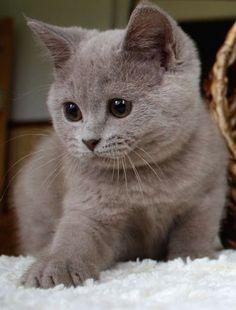 Britisch Kurzhaar … British Shorthair Plus - Cute Cats And Kittens, I Love Cats, Crazy Cats, Kittens Cutest, Beautiful Cats, Animals Beautiful, Gorgeous Eyes, Cute Baby Animals, Funny Animals