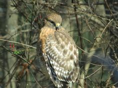 Red Shouldered Hawk @ Viewing nature with Eileen
