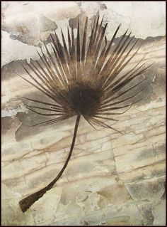 A Magnificent Fossil Palm Fron. This and more important fossils for sale on CuratorsEye.com