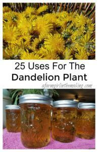 25 Uses for the Dandelion Plant - learn how to use the pedals, leaves and roots in order to create a self-sustaining product.