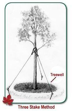 Tree Maintenance - Turfsavers Tree Farm, LLC. planting, pruning and  caring for several different kinds of trees including evergreens.