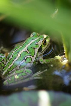 Disney Sidekicks, Cute Frogs, Chameleons, Frog And Toad, Reptiles And Amphibians, Long Legs, Snakes, Cute Pictures, Turtle