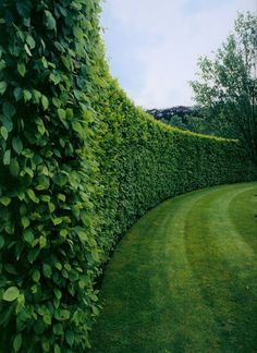 American Boxwood hedges can grow to be pretty tall, so I would recommend using those for a property line's perimeter, while English Boxwood grows short and wide, perfect for sectioning off gardens and pathways. Privacy Landscaping, Garden Landscaping, Landscaping Ideas, Hedges For Privacy, Privacy Plants, Privacy Hedges Fast Growing, Privacy Walls, Backyard Privacy Trees, Backyard Ideas