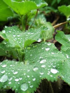 raindrops on lady's mantle....