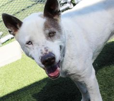 Meet Snoopy, a Petfinder adoptable Australian Cattle Dog (Blue Heeler) Dog | Carrollton, TX | Hey there Snoopy the coolest dog in the shelter here, looking for a possible new place to hang my...